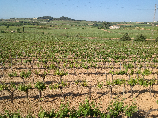 The 125 acre vineyard