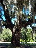A series of photos by A. Hiemer explore many angles of: The Oak, Spanish Moss and Resurrection Fern.