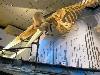 The whale skeleton looming overhead.