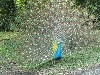 Peacock in the garden of Hacienda Venecia