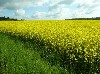 Fertile fields for Canola oil