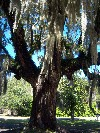 Hosting Epiphytes: Spanish Moss and Resurrection Fern