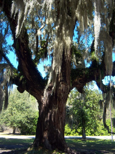 250 Year Old Southern Live Oak Tree