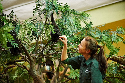 Image result for trainers feed Malayan Flying Foxes